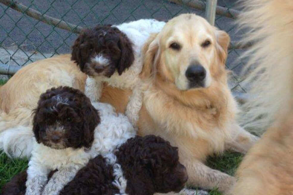 Lagotto Puppies with Adult Golden