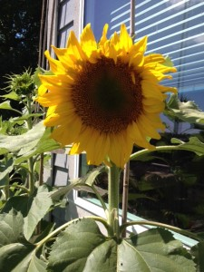 Sunflowers & Sunshine