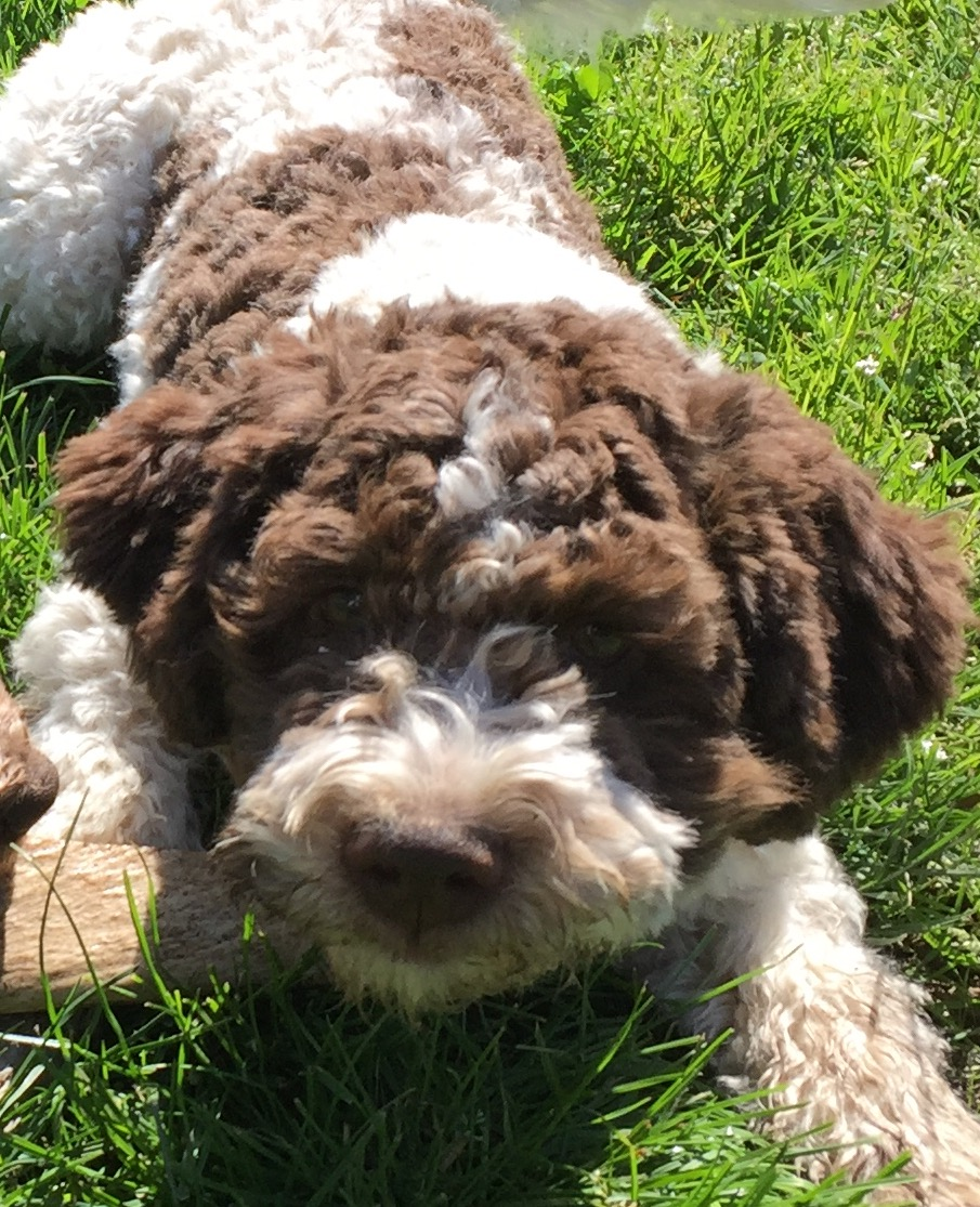 lagotto puppy