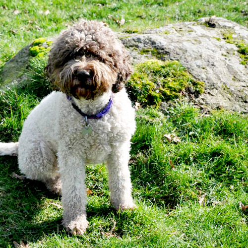 Lagotto Truffle Dogs: Lagotto On The Hill