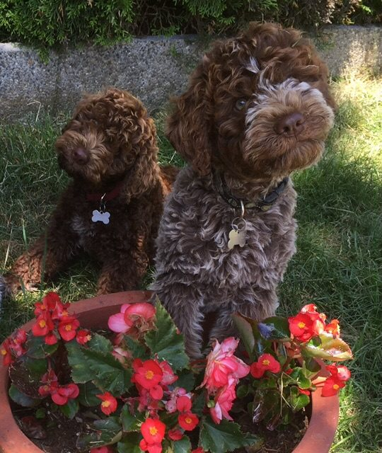 Lagotto Brown Roan Puppy