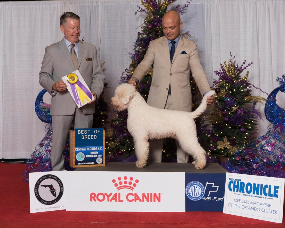 Lagotto Romagnolo Dog being judged.