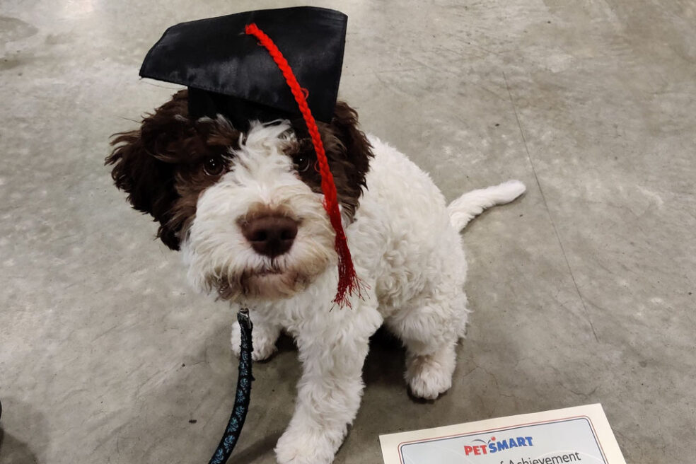 Lagotto dog with graduation hat