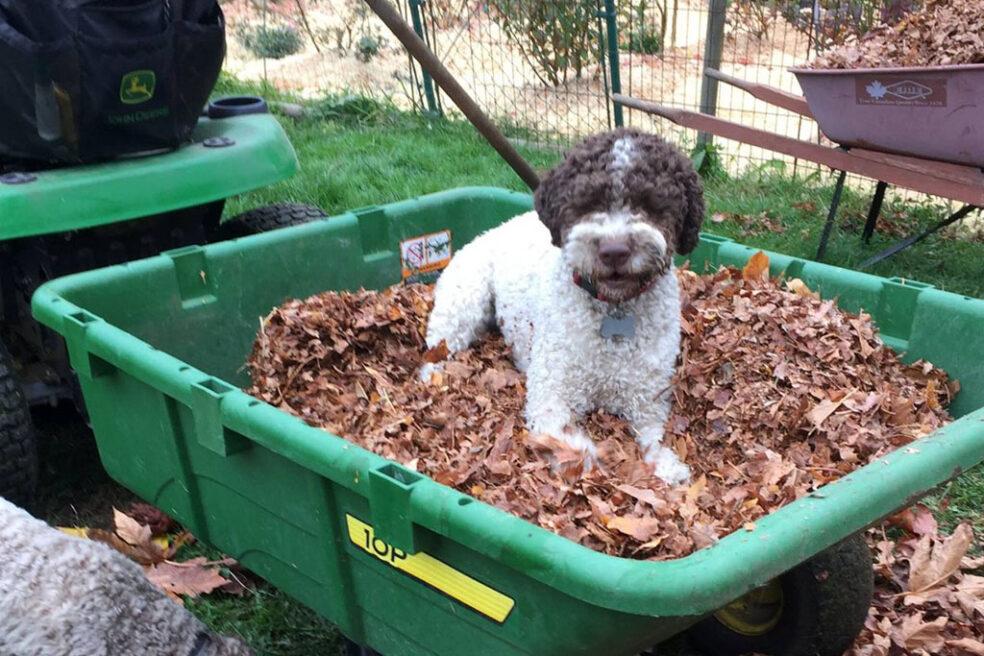 Lagotto dog in green wheelbarrow