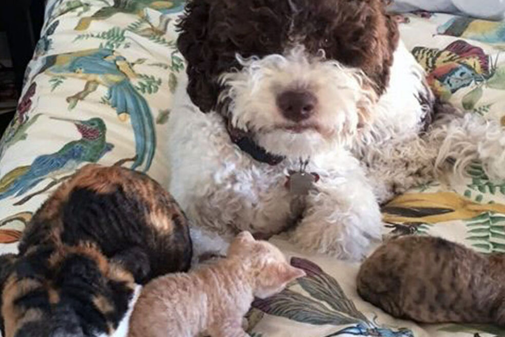 Lagotto dog on bed with kittens