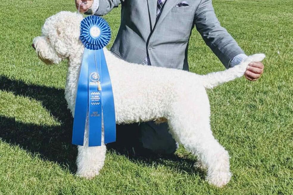 Lagotto Dog with Award