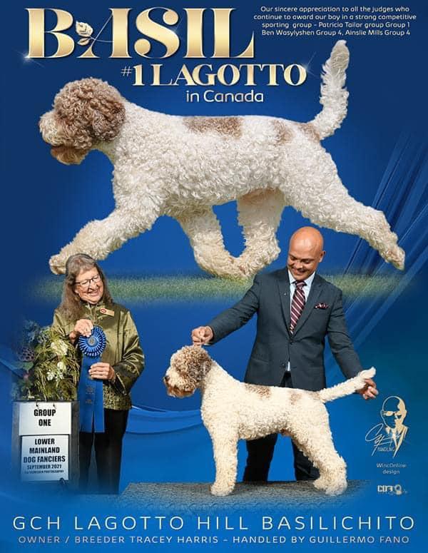 Lagotto Romagnolo Show dog Grand Champion Canada Basil Tracey Harris
